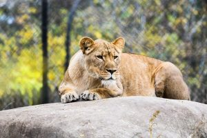 Female lion resting on a rock