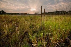 Grasses in a prairie